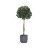 Дерево лавра