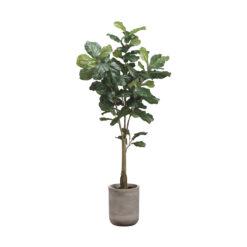 Дерево фикуса лировидного